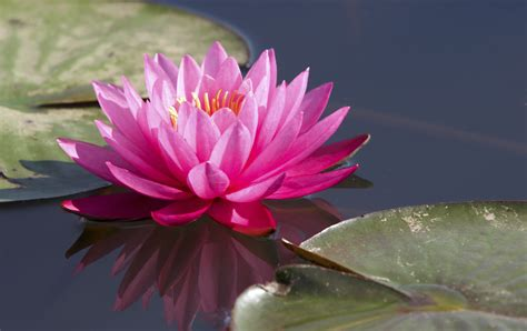 meaning  symbolism   word lotus