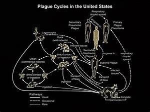 Yersinia Pestis Infection Pathophysiology