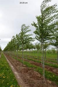 Großen Apfelbaum Kaufen : gro en zierkirschenbaum kaufen prunus accoldae ~ Frokenaadalensverden.com Haus und Dekorationen