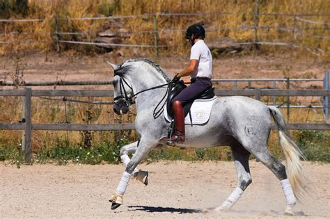andalusian dressage horse spanish horses pre years purebred ride fun grey stallion