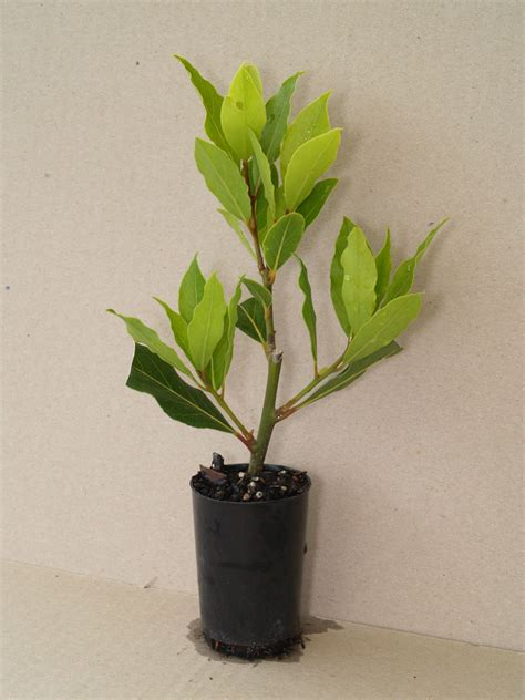 bay leaf tree laurus nobilis 50mm pots fruit tree
