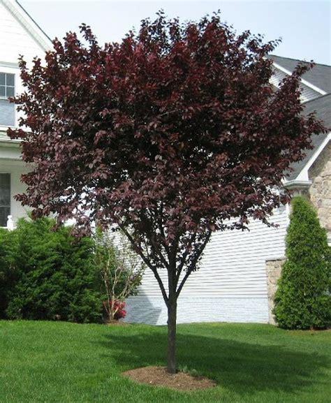 leaf plum tree trees with burgundy leaves purple leaf plum tree ls pinterest trees plum tree and purple