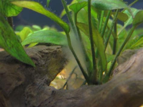 algues blanches aquarium eau douce aquarium eau douce blanche