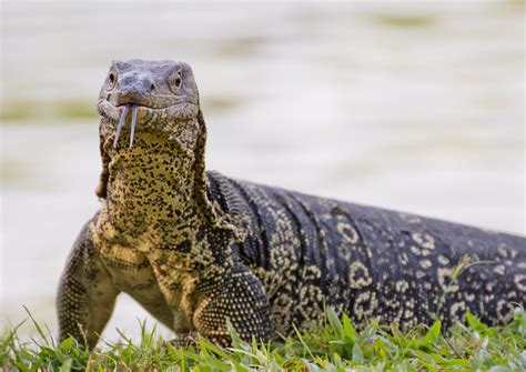 Exotic Pet Lizard Types
