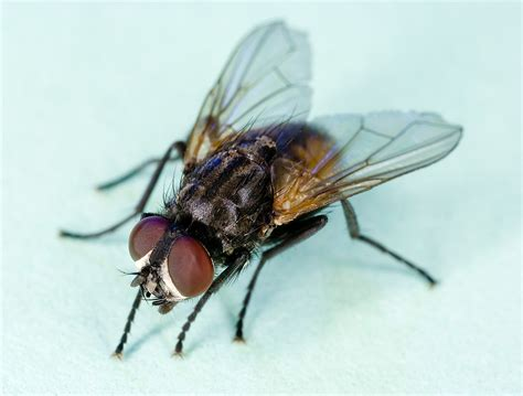 Filecommon House Fly, Musca Domesticajpg  Wikimedia Commons