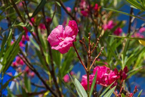 oleander zurückschneiden im herbst oleander zur 252 ckschneiden 187 so gelingt der radikalschnitt