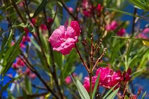 Oleander Zurückschneiden Video : oleander zur ckschneiden so gelingt der radikalschnitt ~ Lizthompson.info Haus und Dekorationen
