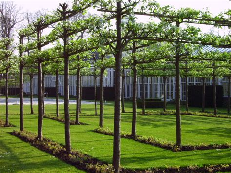 espaliered trees gqt pleached hedges old school garden