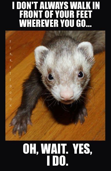 Ferret Meme - 0e1d3538f3984d2d1084562644feab77 jpg 455 215 700 pixels so true pinterest ferret animal and