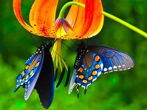 Butterfly, Wallpaper, Images