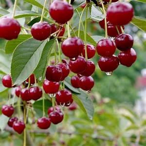 Taille De Cerisier : cerisier bigarreau 39 van 39 taille quenouille pot de 10 l ~ Melissatoandfro.com Idées de Décoration