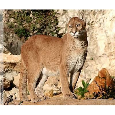 Puma concolor - a photo on Flickriver