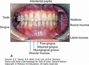 Oral Mucosa Anatomy