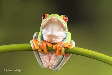 Red Eye Tree Frog D752680jpg  As Its Name Suggests, The