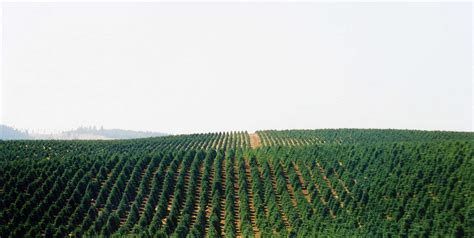 best oregon christmas tree farm tree farms in oregon the largest tree farm