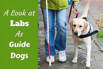 Guide Dogs Labradors Labrador Dog Help Breed