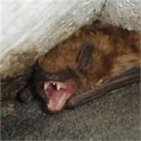 winter bats in massachusetts and rhode island bat guys