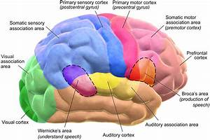 Difference Between Cerebrum and Cerebral Cortex ...