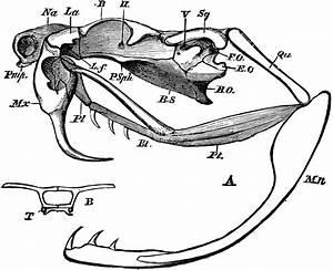 Rattlesnake Skull
