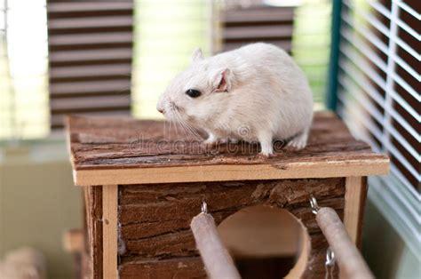 Gabbia Gerbillo - gerbil immagine stock immagine di mammifero gabbia