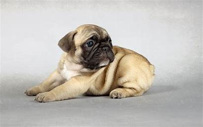 Pug Puppies Puppy Wallpapers Funny Windows Getwallpapers