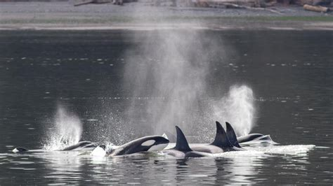 ' Orcas Attack Gray Whales In