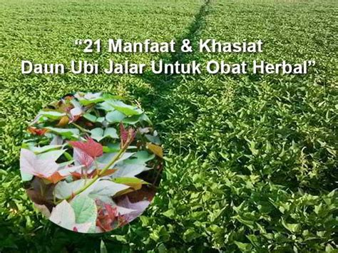 khasiat manfaat penting daun ubi jalar  asam urat