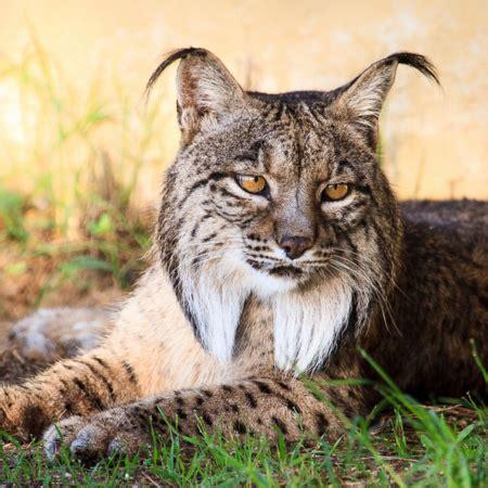 lynx iberian endangered cgtn