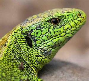 Große Reptilien Für Zuhause : lpv stadt augsburg e v reptilien ~ Lizthompson.info Haus und Dekorationen