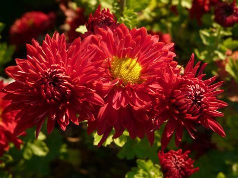 Garten Chrysantheme Kaufen by Duftende Pflanzen Chrysanthemen Winterastern