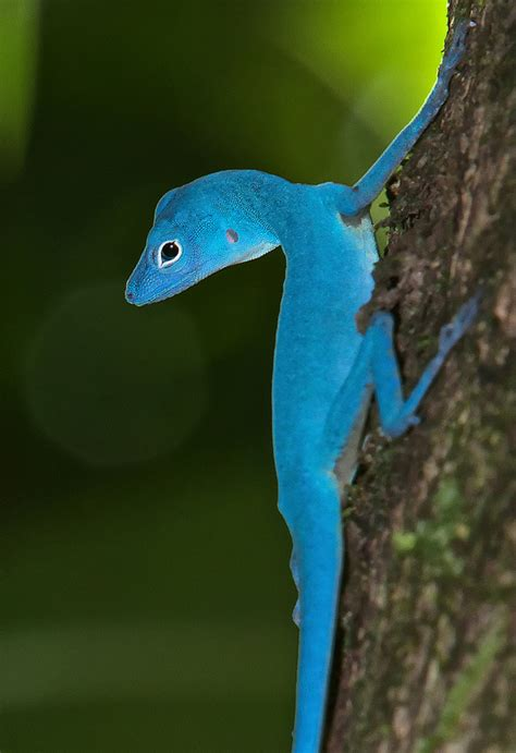 blue anole facts  pictures