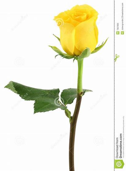 Rose Yellow Clipart Stem Vector Clip Tattoo