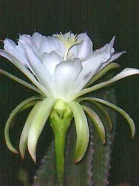 natureza em fotos flor  mandacaru