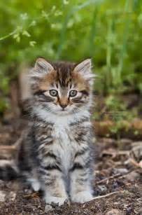 louisiana cat fluffy kitten by la vita a on deviantart