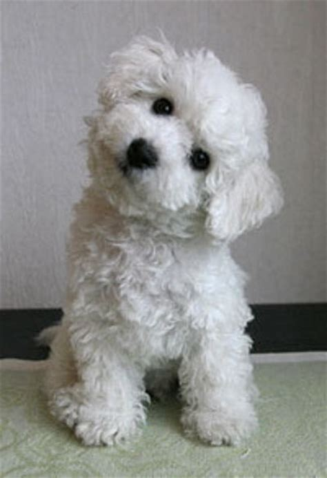 do bichon poodles shed 25 best ideas about maltese poodle on maltese