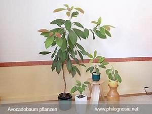 Aprikosenbaum Selber Ziehen : avocado pflanzen avocadobaum selber ziehen philognosie ~ A.2002-acura-tl-radio.info Haus und Dekorationen