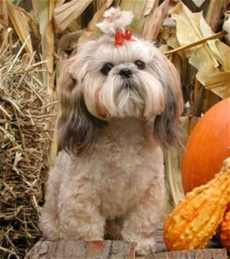 shih tzu breed information   thriftyfun