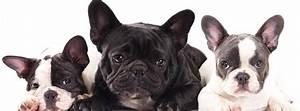 Hundebekleidung Französische Bulldogge : franz siche bulldogge i french bully i frenchie die franz sische bulldogge ~ Frokenaadalensverden.com Haus und Dekorationen