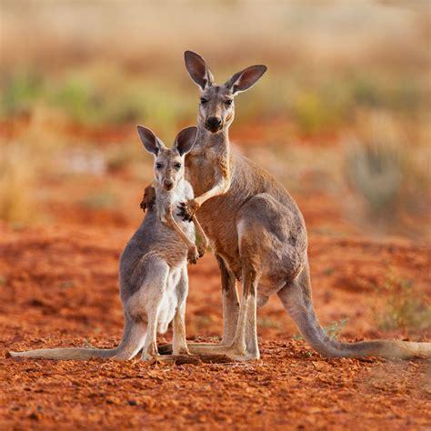 si e de massada anche i canguri si abbracciano lifegate