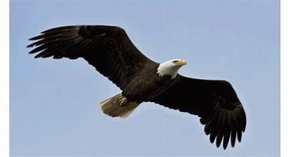 Eagle Bald Birds Prey Giphy Animated Bird