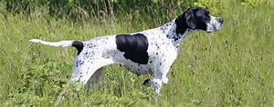 Black And White Pointer Pictures to Pin on Pinterest ...