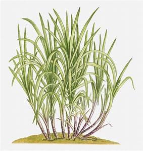 Illustration Of Saccharum Officinarum (sugarcane) Bearing ...
