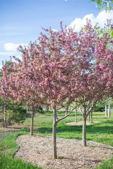 pictures of crabapple trees crabapple robinson creekside tree nursery