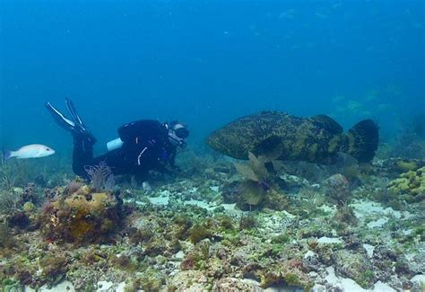 grouper goliath atlantic tortugas dry itajara giant species belize epinephelus shark groupers national park endangered fish largest brett seymour different
