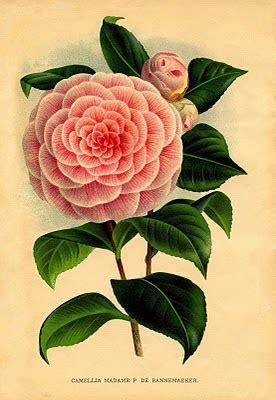 instant art printable  pink camellia botanical