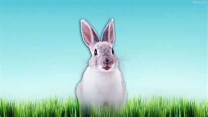 Rabbit Background Wallpapers Backgrounds Desktop Baltana