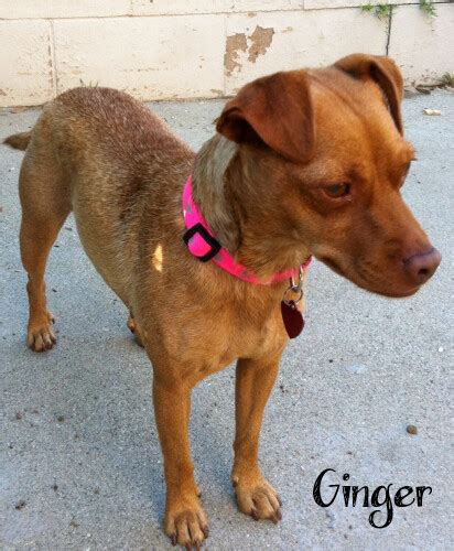 ginger dachshundchihuahua mix female puppy availab