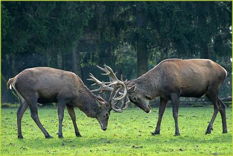 hirschkampf foto bild tiere zoo wildpark falknerei