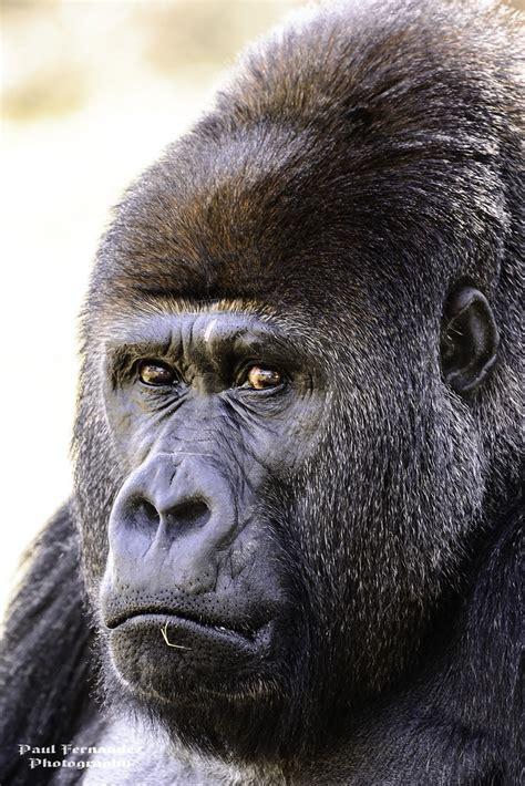 gorilla silverback zoo miami annoyed puzzled human florida monkey eyes mouth mean expression he around