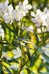Pflege Von Oleander : der oleander der palmenmann ~ Eleganceandgraceweddings.com Haus und Dekorationen